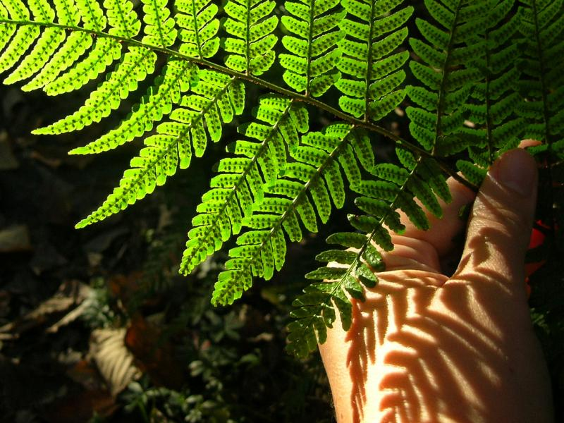 fern spores and shadow
