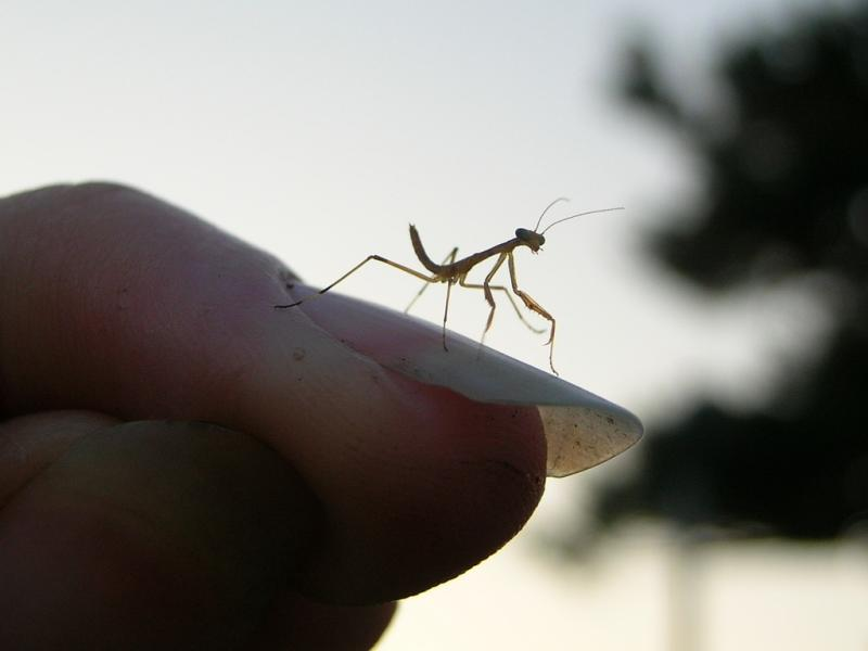 micro baby mantis on a fingernail