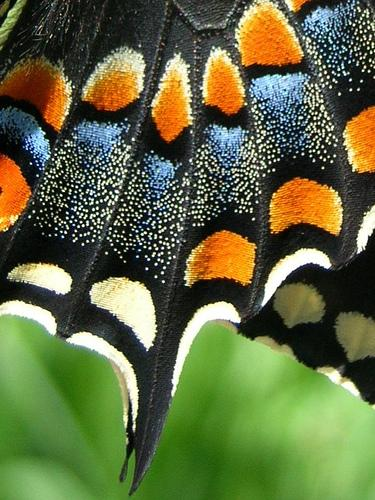 black swallowtail butterfly scales