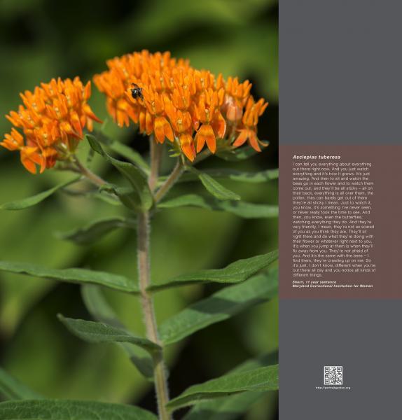 Portrait Garden (Sherri, Asclepias tuberosa)