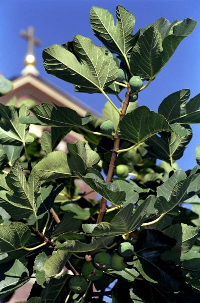Figs and St. Leo's Church, Baltimore, Little Italy