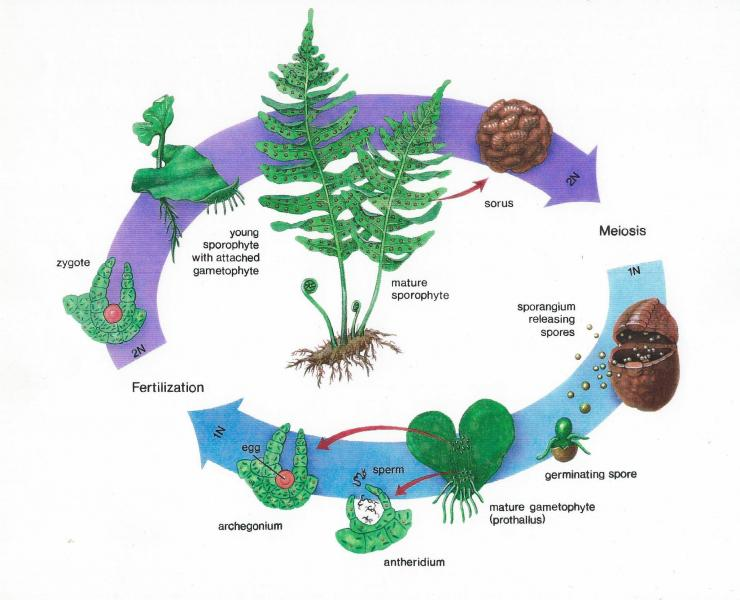 Airbrush on illustration board of the life cycle of the fern.