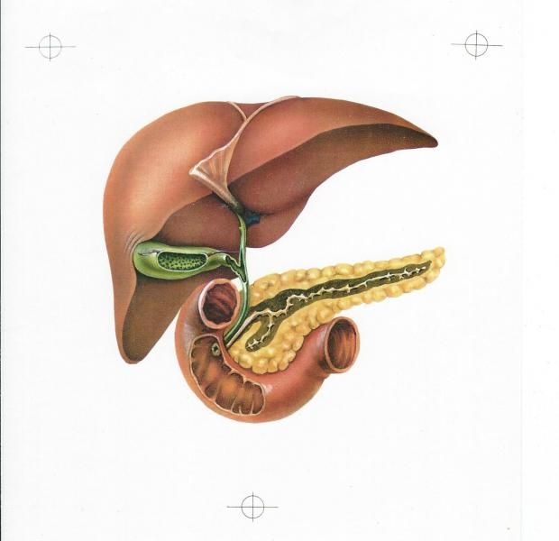 Anatomy of the liver, gallbladder, pancreas, and duodenum airbrush on 9x12 inch illustration board.