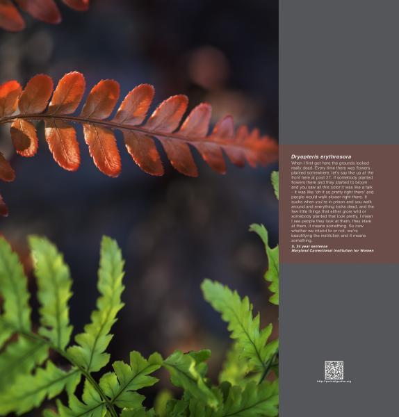 Portrait Garden (Sheila, Dryopteris erythrosora)