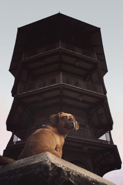 A pug mix sitting in front of the Patterson Park Pagoda of Baltimore