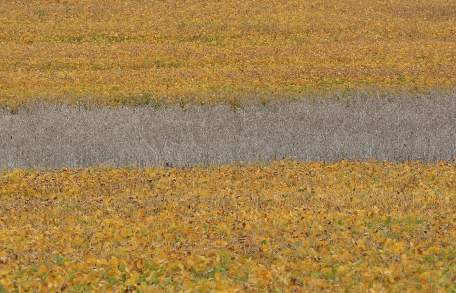 Bean Field soybeans farm abstract pointillist pointillism Hunt Valley Maryland