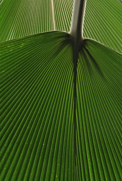 Fiji Fan Palm leaf leaves abstract patterns Franklin Conservatory Columbus Ohio