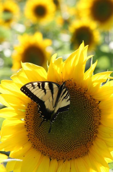 Sunflower and Swallowtail butterfly Hunt Valley Maryland Baltimore County Agricultural Resource Center