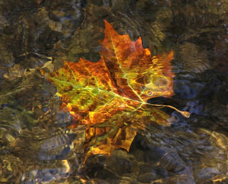 Submerged fall autumn leaf leaves maple water abstract red Morgan Run Creek Carroll County Westminster