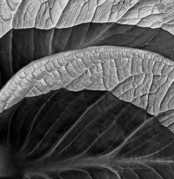 Skunk cabbage swamp plant leaf leaves wetlands black white nature Maryland Morgan Run Creek veins