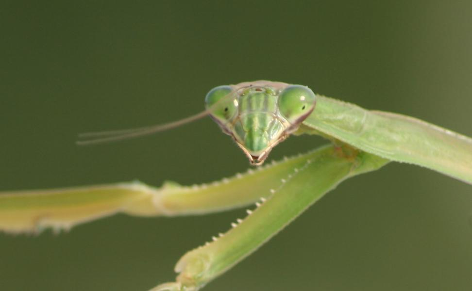 Say Hello To My Little Friend praying mantis green insect smile westminster maryland carroll county
