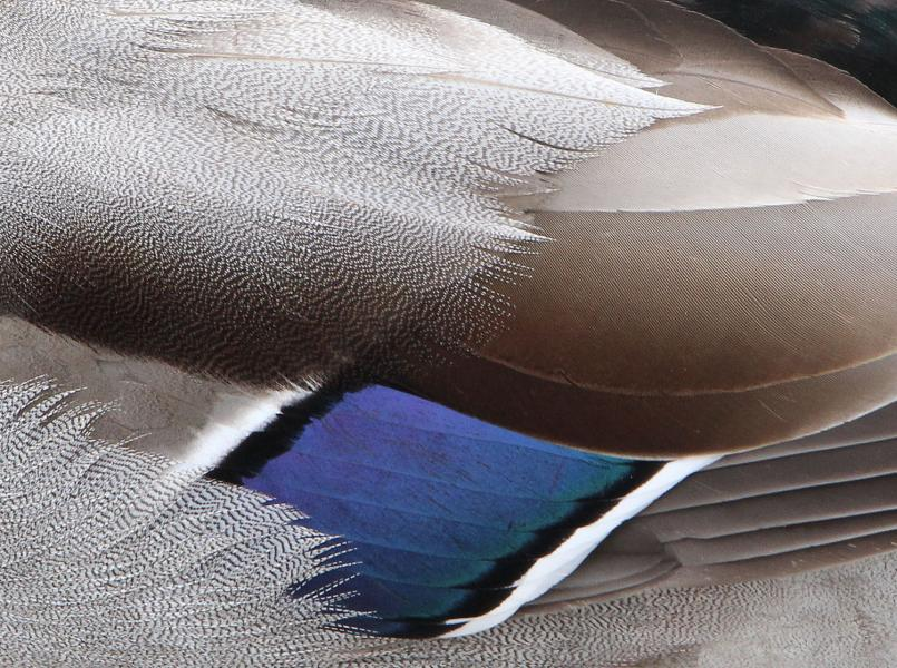 Wings bird duck abstract feathers pattern avian blue Hagerstown Maryland