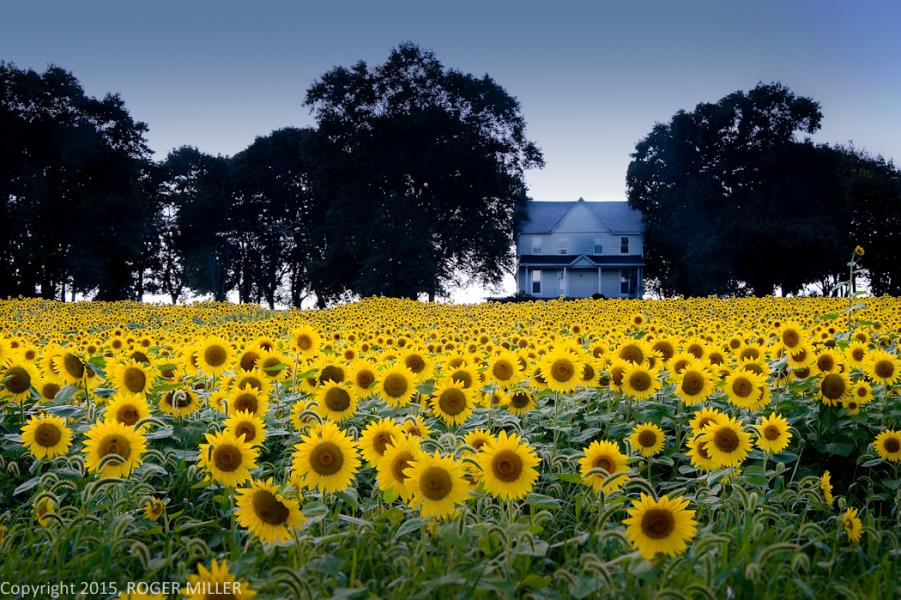 SUNFLOWERS CENTRAL MARYLAND