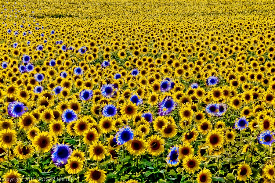 YELLOW AND BLUE SUNFLOWERS