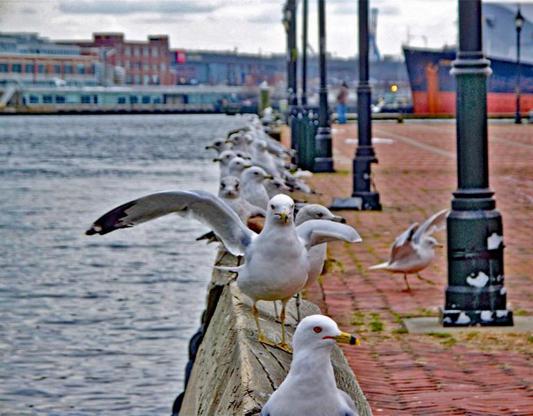 Seagulls LIned-up at the Broadway Pier