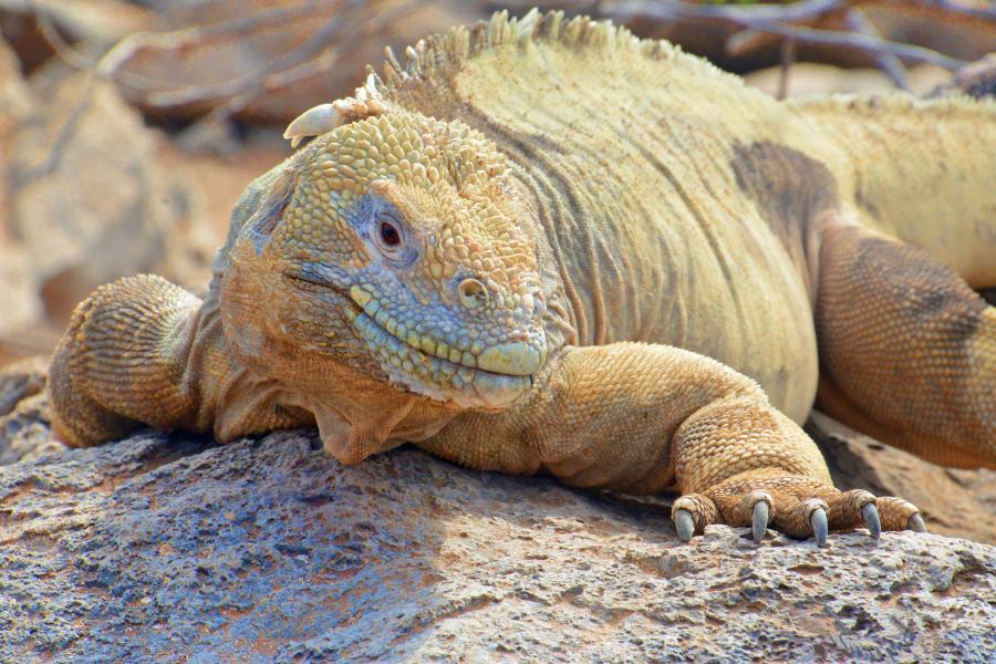 Galapagos and the Iguana