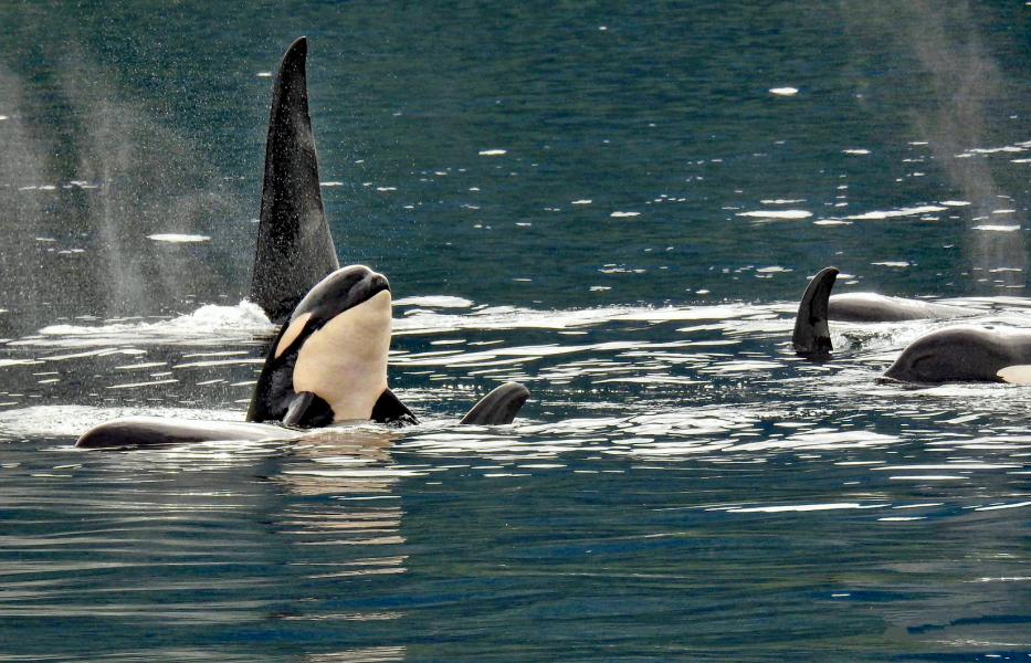 The Mighty Orcas of Canada