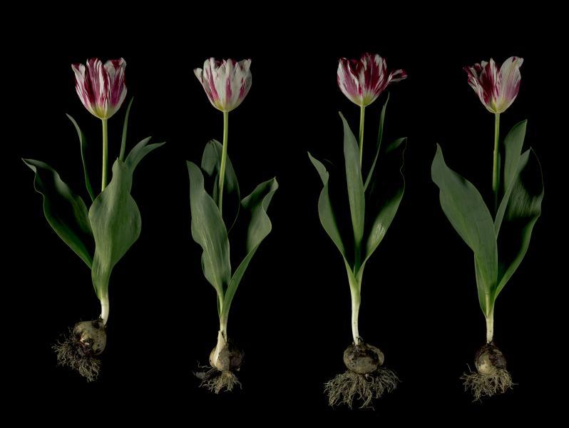 'Silver Standard' Broken Tulips