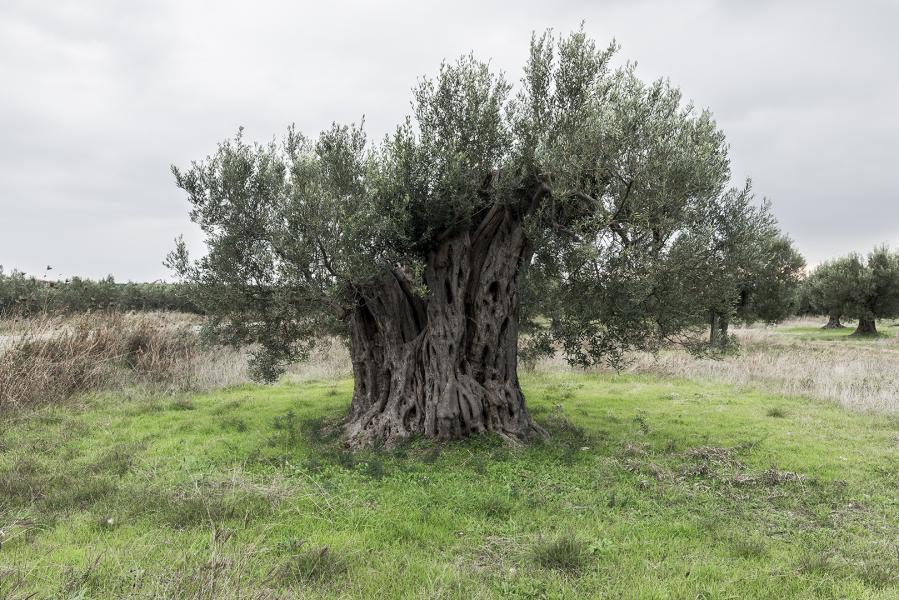Ancient Olive I