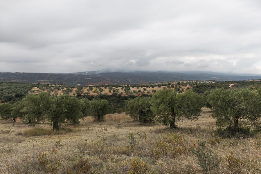 Olive Land