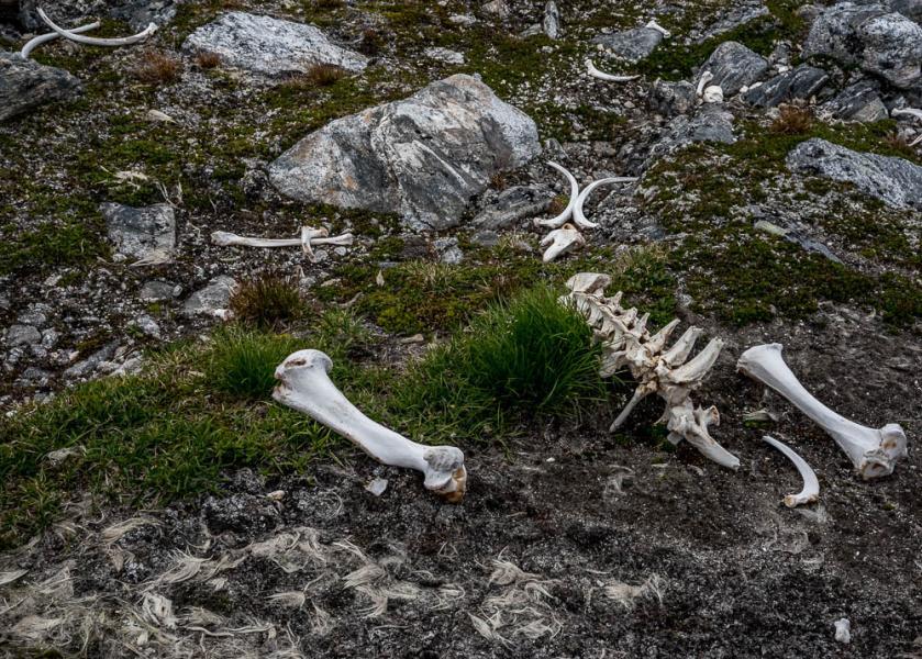 Polar Bear Bones and Fur, Cape Mercy, Nunavut