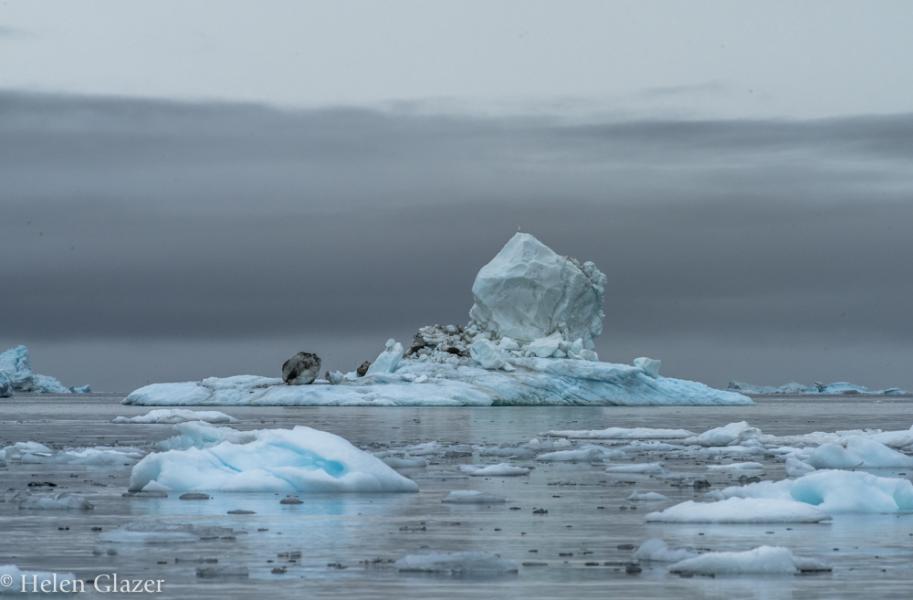 Glaucous Gull on Iceberg, Illulisat Icefjord, Greenland