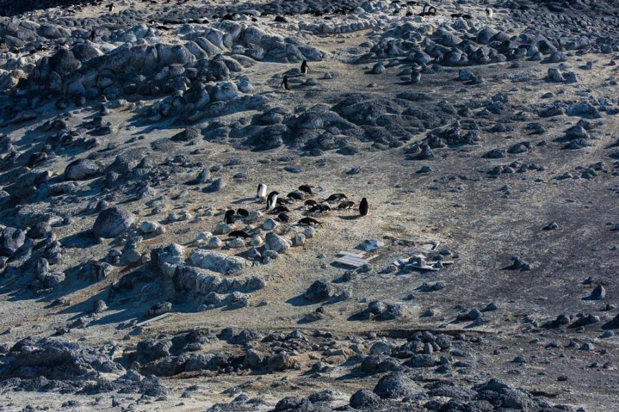 Penguin Subcolonies, Cape Royds