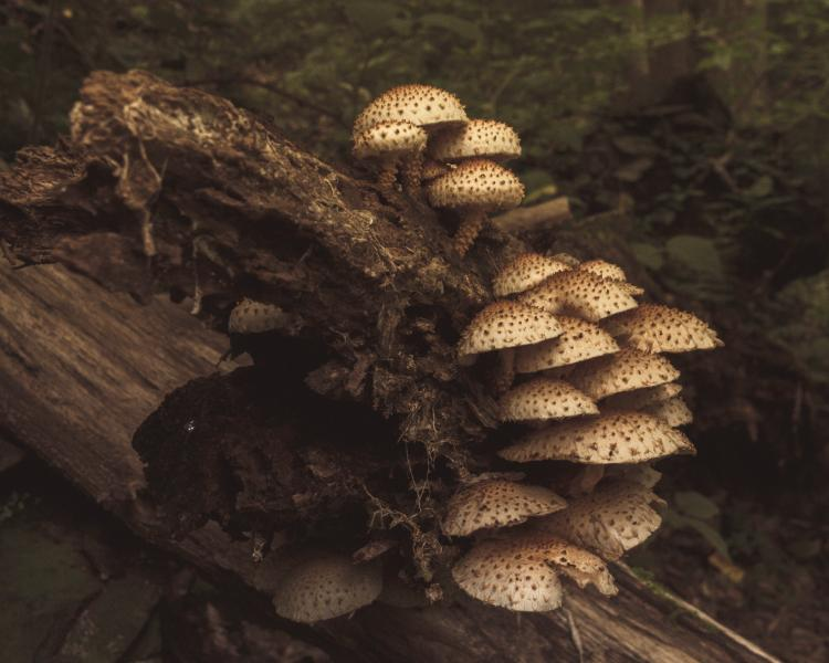 Pholiota Colony, Photography by Rose Anderson