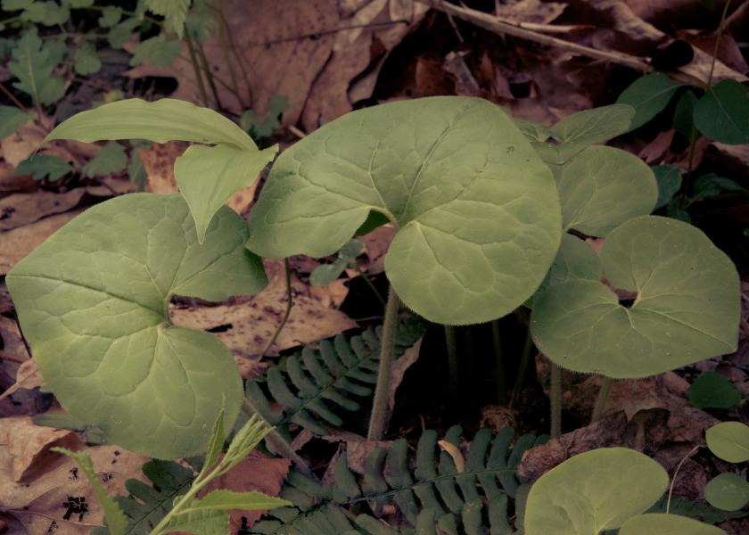 Wild Ginger, Photography by Rose Anderson