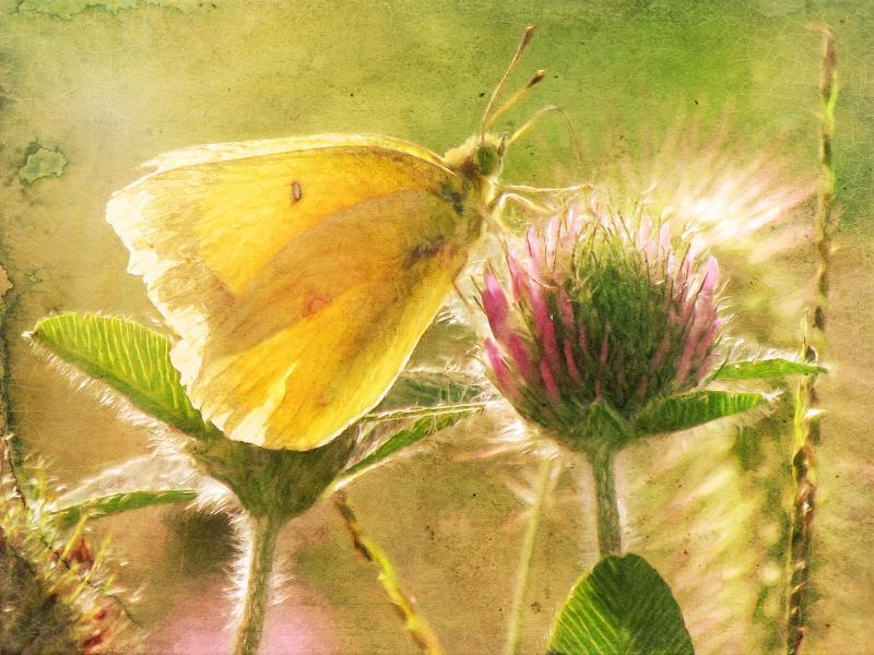 Fairies of the Fields, Portrait II