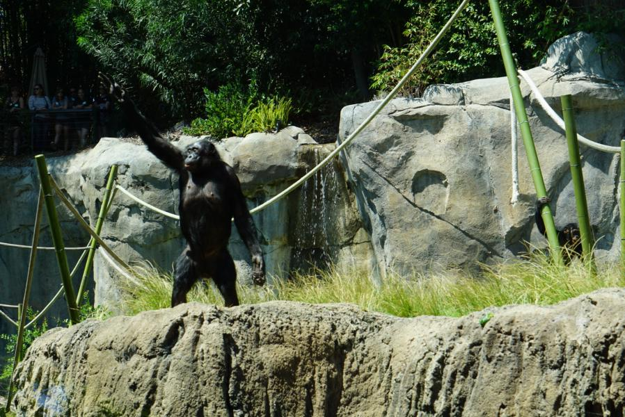 Bonobo Hello