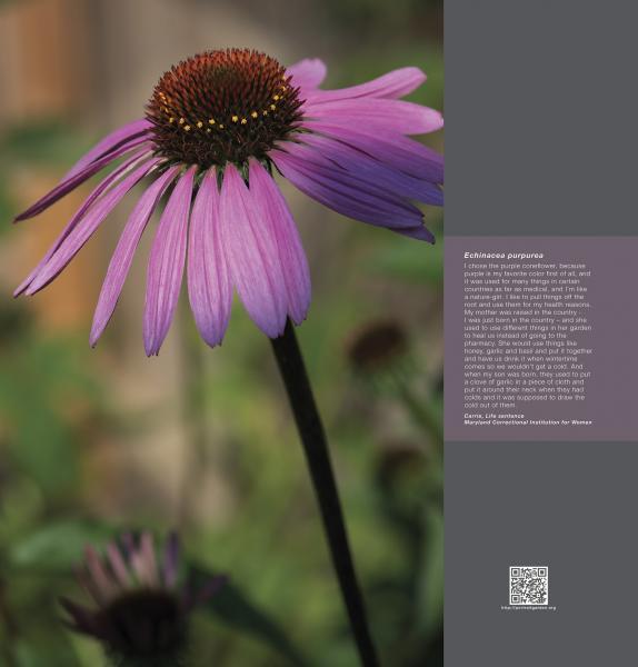 Portrait Garden (Carrie, Echinacea purpurea)