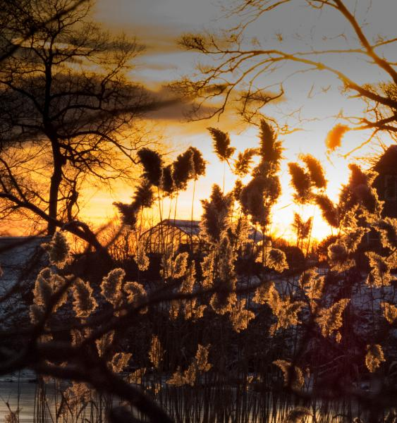 Phragmites glow in the setting sun.