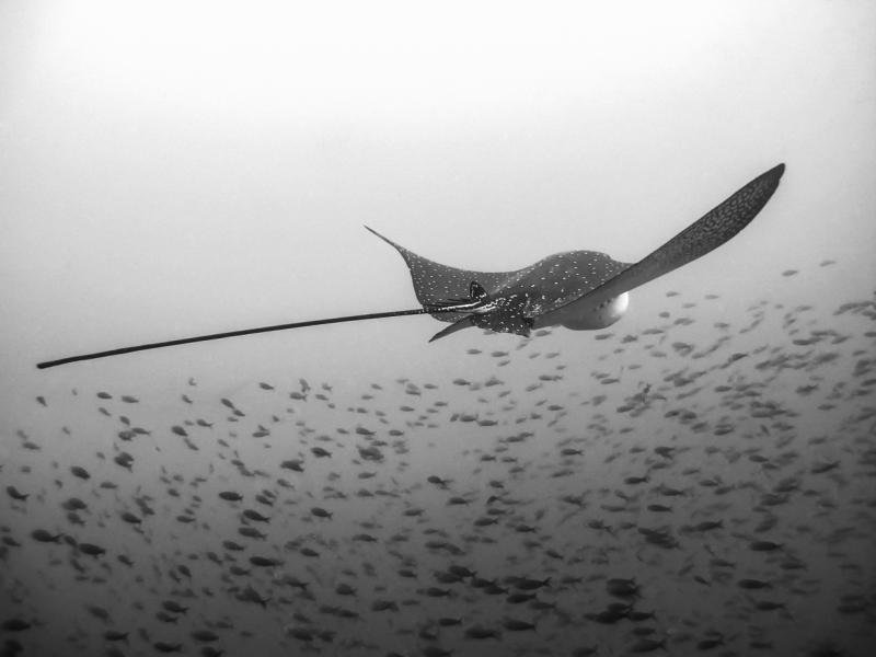 Spotted Eagle Ray, Galapagos Islands