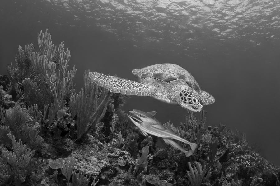 underwater photograph, sea turtle, underwater photography, fine art photography, ecology