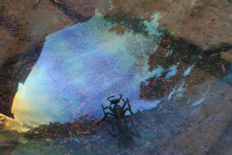 Black ant looking into blue field
