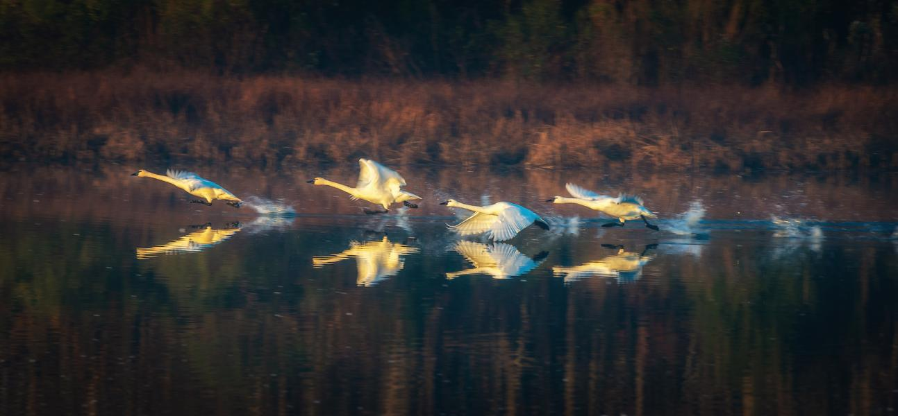 Dance of the Tundra Swan
